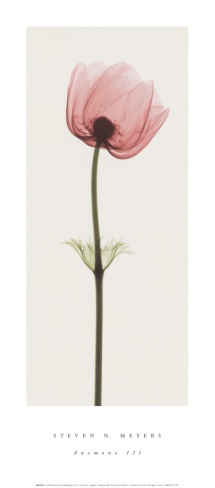 Anemone III Print by Steven N. Meyers at Art.com