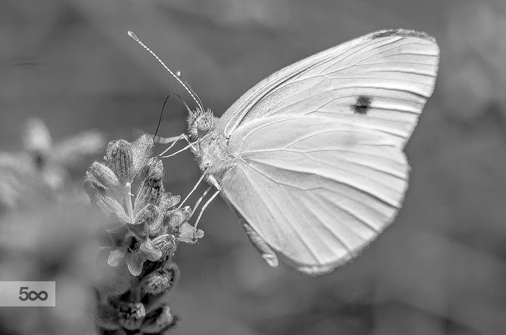 Pieris by Graziella Serra Art & Photo on 500px