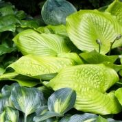 While hosta leaves are tender, meaning they die back where winters are cold, the plants are not delicate and will survive down to minus 40 degrees F, growing in the coldest parts of Minnesota (Zone 3) as well as in central Florida (USDA Hardiness Zone 9). They prefer moist, well-draining soil with a good amount of organic matter. It's hard to overwater hostas, but expect them to need about an inch of water each week during the hottest months. Generally easy to grow and disease resistant, ...