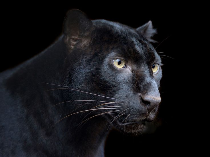 The new moon, solar eclipse, and divine feminine are powers of black panther symbolism. Black panther spirit animal navigates this unfamiliar territory with ease.