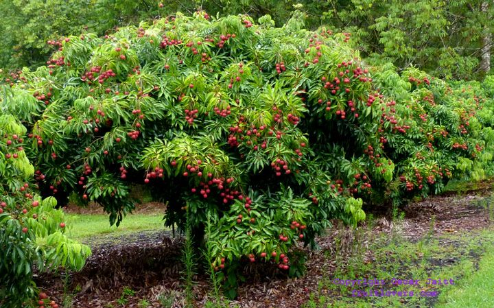 lychee tree - for container | for my garden: flora i love ...
