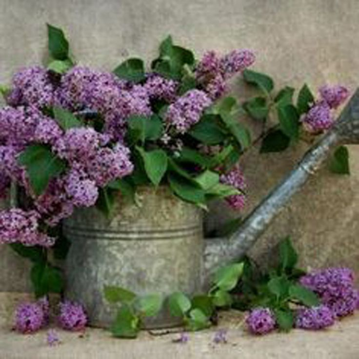 lilacs in watering can