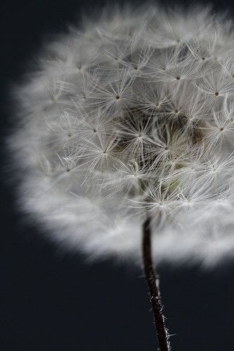 "Items similar to Dandelion Art Photograph Whimsical Flower Macro 8x12 Fine Art Print ""Bigger than me"""