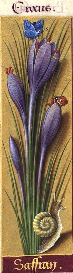 Saffran - Crocus (Crocus sativus L. = safran cultivé) -- Grandes Heures d'Anne de Bretagne, BNF, Ms Latin 9474, 1503-1508, f°104v