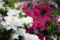 Prune azaleas after spring bloom, but before July. This site tells how.