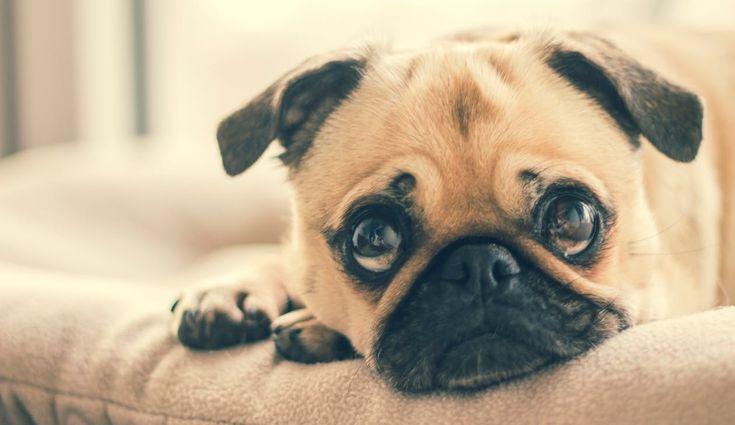 La primera razón es muy simple: porque un perro no es un producto, no es una mercancía. Sin embargo, la gente sigue comprando perros por capricho estético y por modas, si no en una tienda, lo hacen…