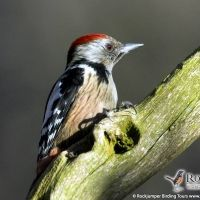Middle Spotted Woodpecker by Gerard Gorman