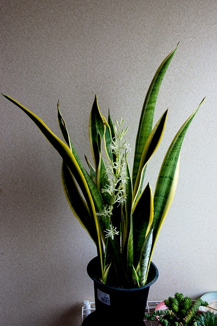 Sansevieria laurentii with flowers. Also called snake plants or mother-in-laws tongue ;)