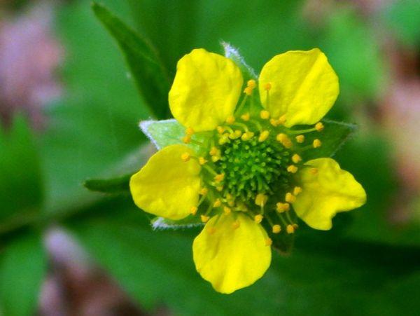 Wildflowers of Turkey - Geum urbanum