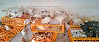 YUMURTALIK TAVUK-CİVCİV-HİNDİ: Sussex tavuk BEYAZ BACAK LİGHT SUSEX YUMURTA TAVUĞU SATIŞI