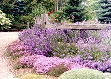 Fully blooming flowers of English Lavender 'Munstead' spill over the split rail fence near the Creeping Red Thyme (Thymus praecox subsp. arcticus), and the gray/green mound of Wooly Thyme (Thymus pseudolanuginosis). http://barnowlnursery.com/garden-tour/