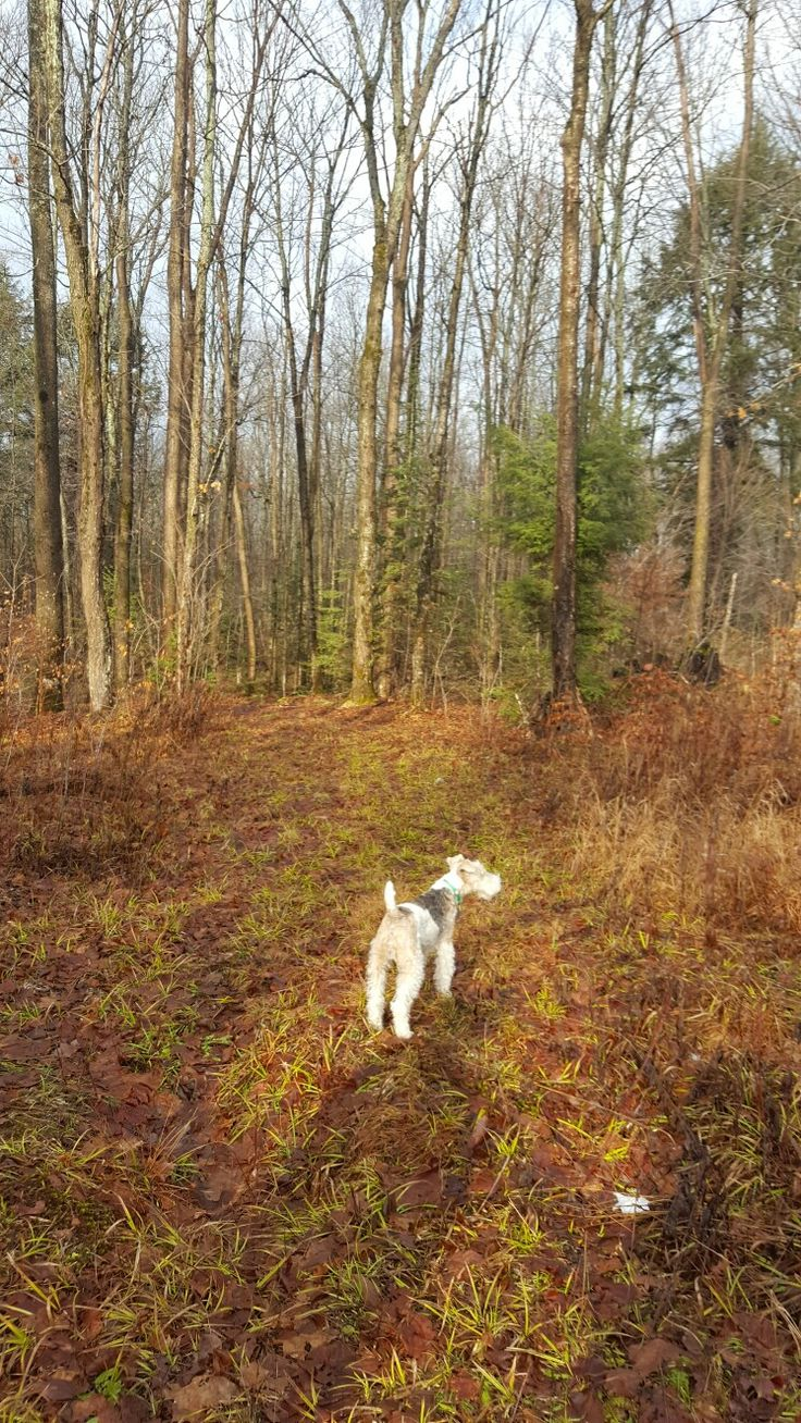 Gemütlich Draht Foxterrier Chihuahua Mix Bilder - Der Schaltplan ...