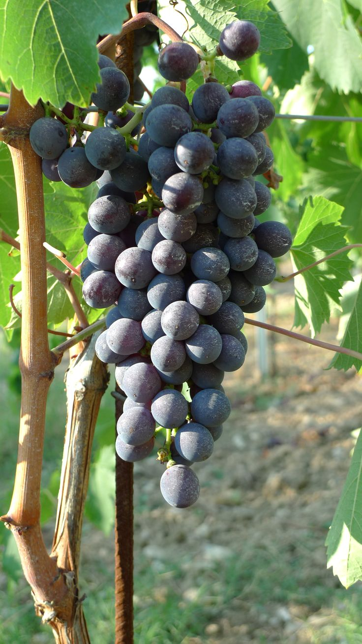 Sangiovese grapes getting ready to become Chianti