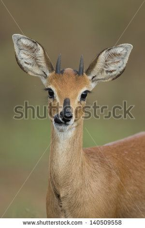 stock-photo-steenbok-aka-steinbuck-or-steinbok-funny-face-140509558.jpg (300×470)