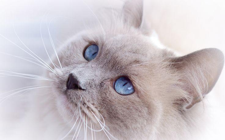 fond ecran hd chat blanc crème regard yeux bleus picture image wallpaper white cat blue eyes