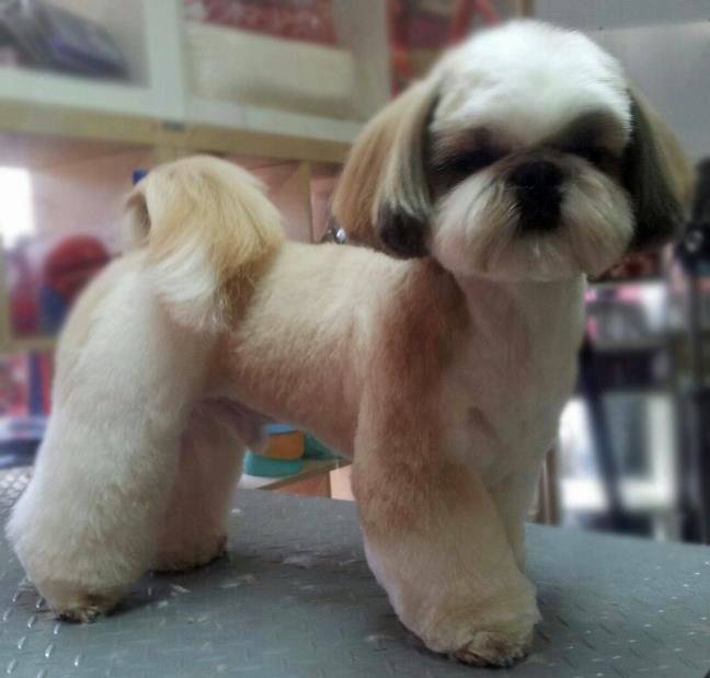 Repinned Shih Tzu Longer Pet Clip In 2020 Shih Tzu Grooming Shih Tzu Haircuts Dog Grooming Styles
