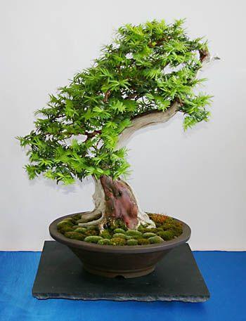 29 besten bonsai bilder auf pinterest bonsai pflanzen. Black Bedroom Furniture Sets. Home Design Ideas