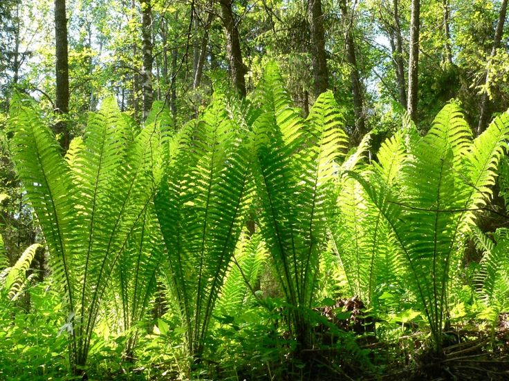 Fern - Matteuccia struthiopteris, the ostrich fern or shuttlecock fern - look great in woodland mass planting under trees!