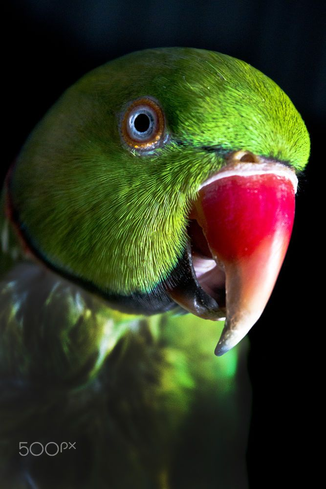 Remarkable, asian ring necked parrott