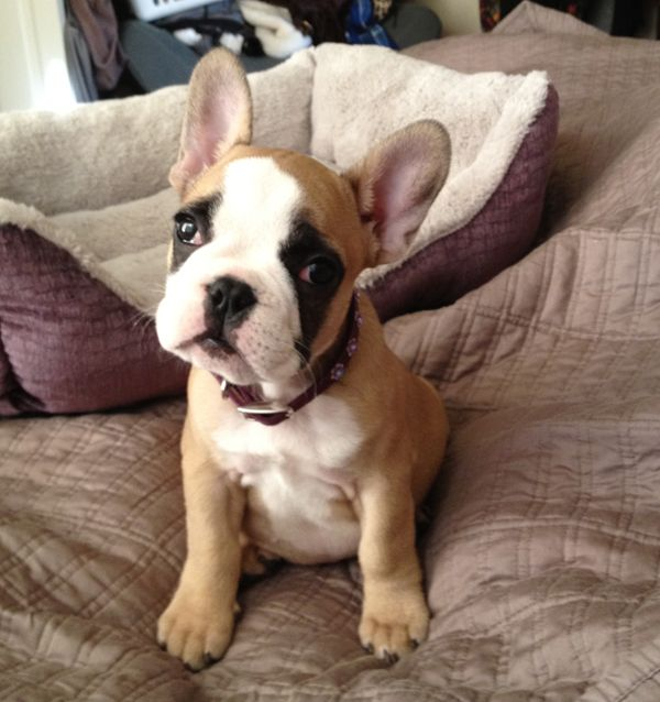 french bulldog puppy colors | Zoe Fans Blog