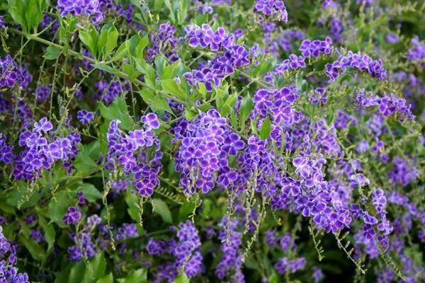 DURANTA GEISHA GIRL Tough evergreen bushy shrub, producing sprays of purple flowers all year long, followed by orange berries. Ideal as a screening plant. Usually grows to 2.5m. Plant in Full sun. Prune to encourage bushiness.