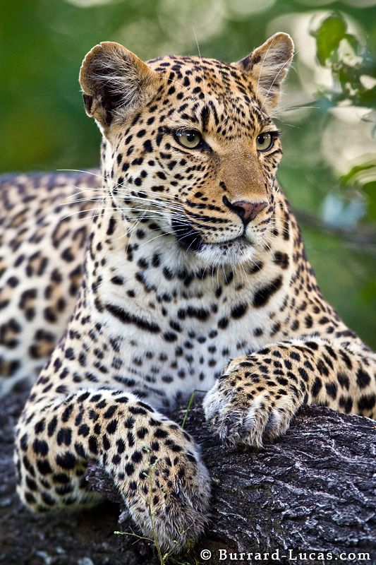 Leopard by Will Burrard-Lucas, via 500px - This is a photo of a beautiful female leopard in the Okavango Delta, Botswana.