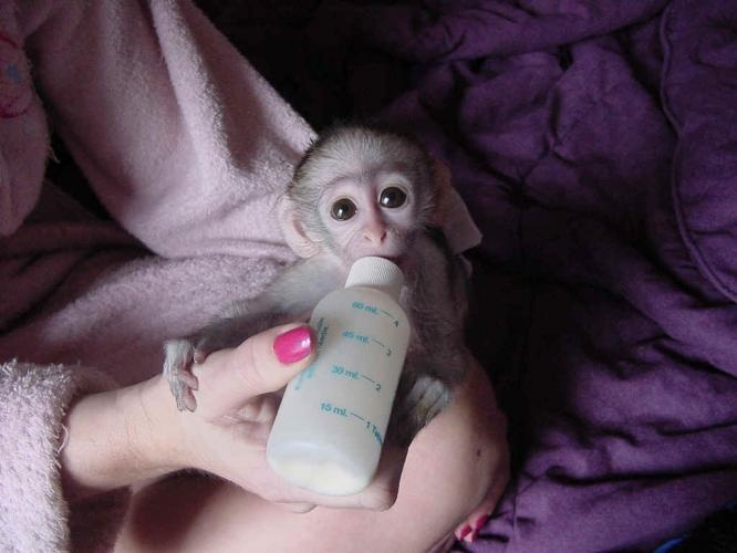 Another Picture of Monkey Babies for Sale