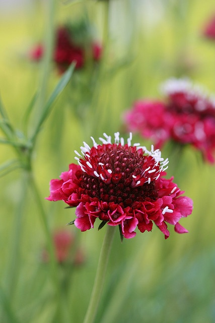 Pincushion Flower (Scabiosa 'Scarlet)