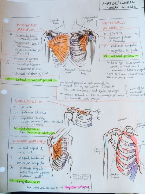 upper limbs and thorax Thorax, abdomen and pelvis upper limb lower limb by system  nervous lymphatic quick quiz muscles of the upper limb home / the upper limb / muscles of the.