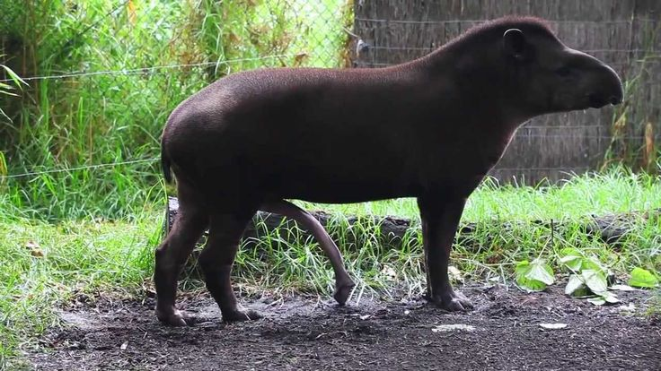 BRAZILIAN TAPIR with five legs at Melbourne zoo - Australia