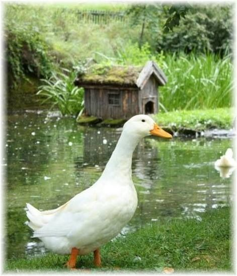 421 best images about ducks and geese on pinterest the for Duck and goose houses