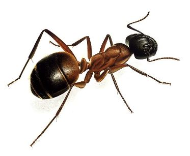 Durin Print WOOD CARPENTER ANT (Hymenoptera:Formicidae) (This is a painting)