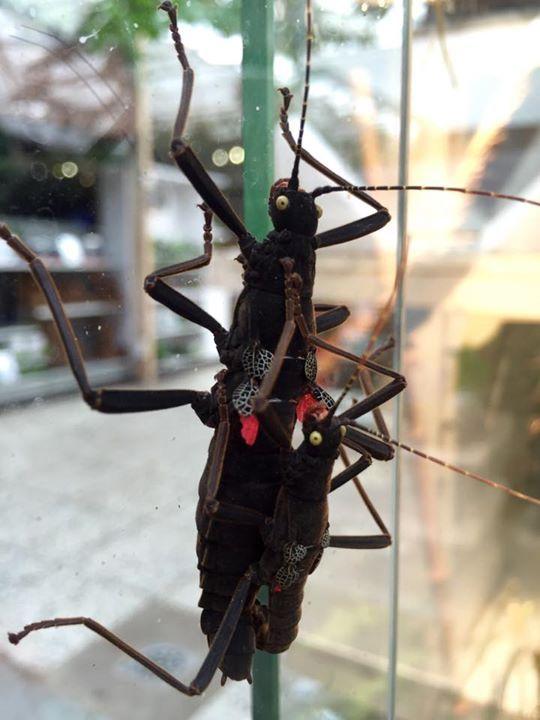 Stick Insect / Walking Sticks in Avonturia - De wandelende takken in Avonturia