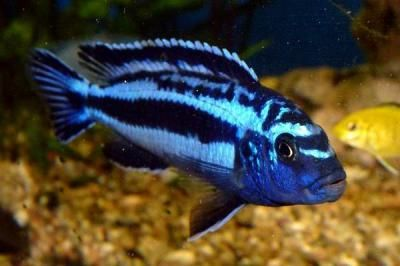 Labidochromis Caeruleus, Electric Yellow Cichlid Blue Johanni African Cichlid.... this is one mean fish... dont put it with other fish!