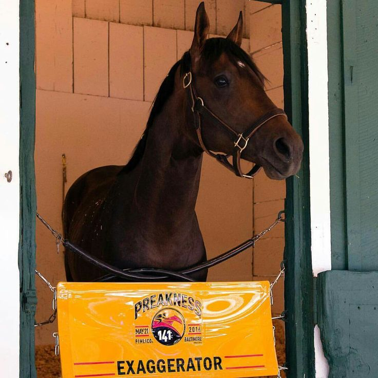 Exaggerator at Pimlico before the running of the 2016 Preakness Stakes.