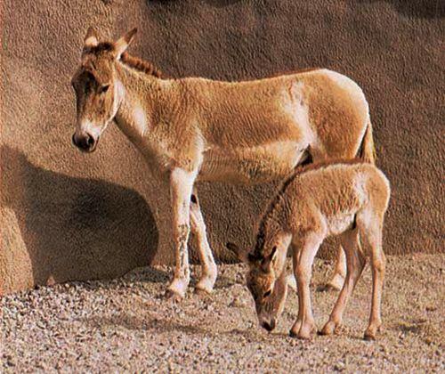 Romania - Equus hemionus hemionus