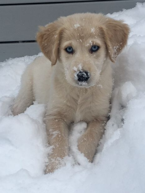 Juneau is a golden retriever Siberian husky mix. This is a fairly new breed of dogs. She is an active puppy who loves playing outside on the snowy days at her home in Northern Maine. Her temperament is as sweet it is playful. We love her very much and wanted to share her cuteness:)