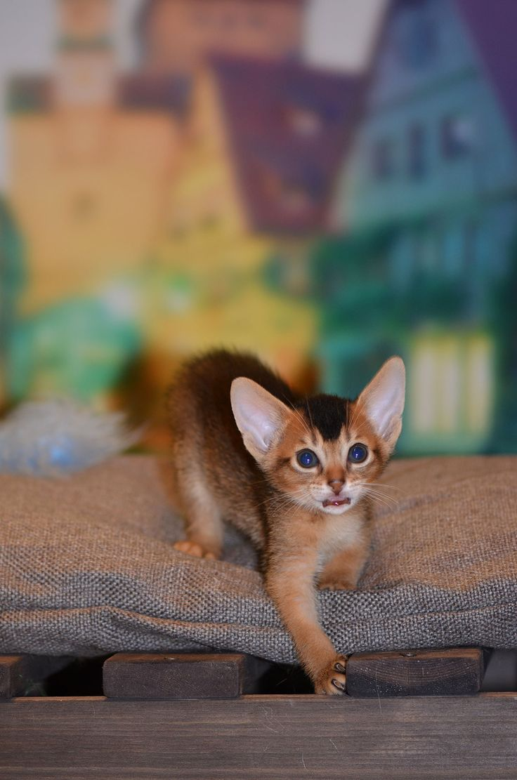 28 best Super-Aby Abyssinian Cattery images on Pinterest ...
