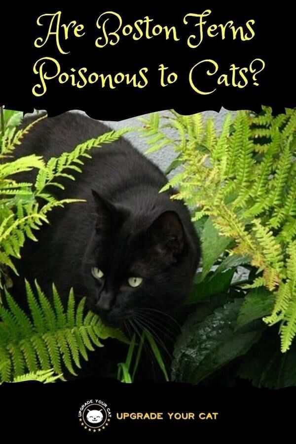 Are Boston Ferns Poisonous To Cats Nope Cat Plants Toxic Plants For Cats Boston Ferns