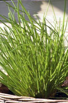 Fiche plante : Ciboulette