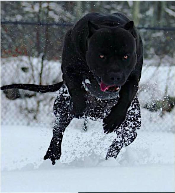 Pin By 365 Security Solution On Sobani In 2020 Pitbull Dog Animals American Pitbull Terrier