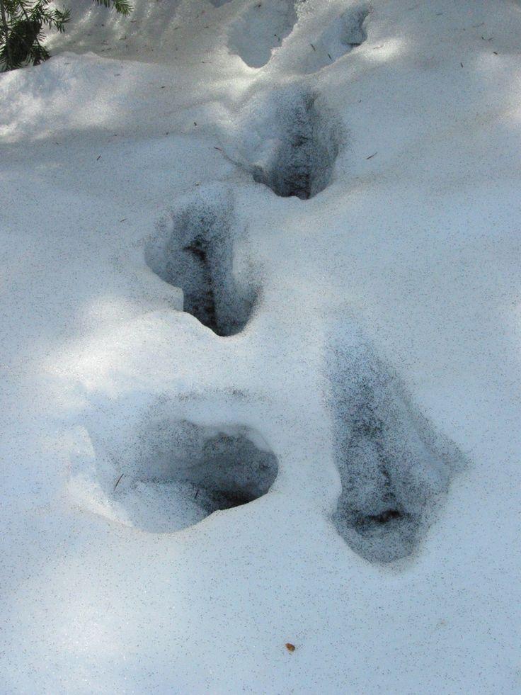LE COLLEMBOLE NIVICOLE OU (PUCE DES NEIGES) - Snow Flea are not fleas