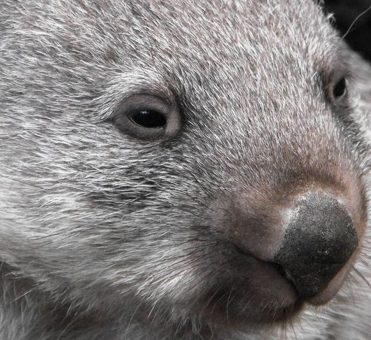 Lovely little wombat up close! Animal extreme close-ups, close-up photos of animal faces, wild animal portraits close-up, along with facts and information precisely detailed in our amazing -AnimalStats- Fact Files