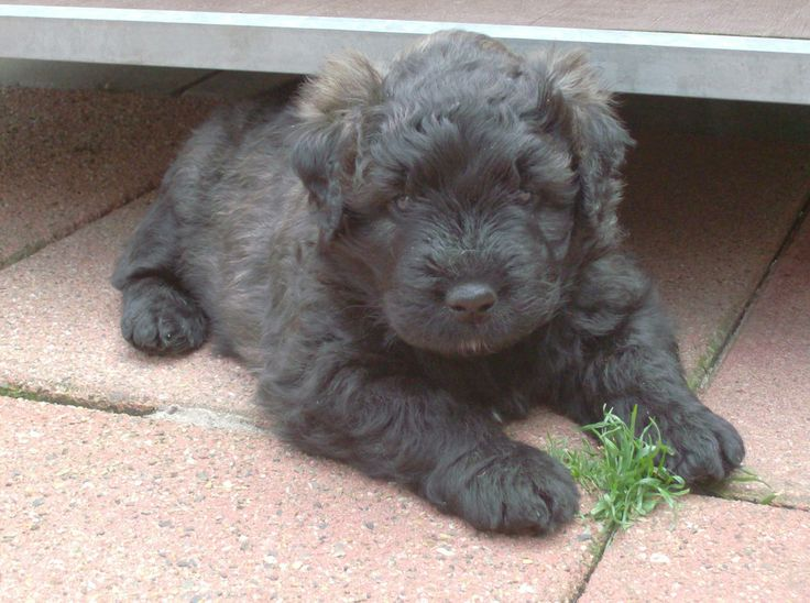 129 best images about Bouvier des flandres on Pinterest ...
