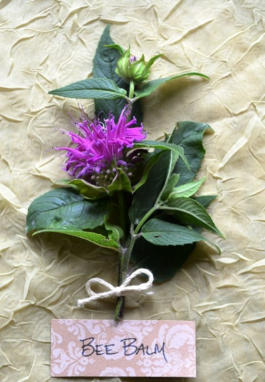 The lovely Bee Balm! Learn about 4 ways to enjoy this amazing plant. From skin care and a tasty addition to recipes in the kitchen to a beneficial herbal remedy and a tasty cup of tea, there is something here for everyone to enjoy!