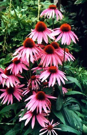 L'échinacée une plante médicinale indispensable à avoir dans notre jardin de survie.   Realinfos