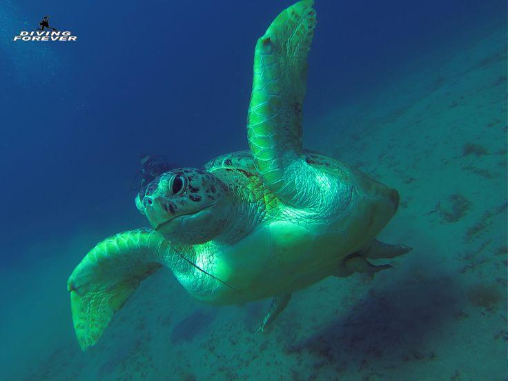 Tauchen Hurghada ist einer von den besten und wichtigsten Plätzen in der Welt zum Tauchen aufgrund der Vielzahl der Korallen und bunten Fische. Viele Taucher bevorzugen es aus vielen Gründen in Hurghada zu tauchen. Wenn wir uns weltweit die Preise zum Tauchen ansehen, werden wir herausfinden, dass es zu teuer ist. Aber unsere deutsche Tauchschule in Hurghada bietet den besten Preis in dieser Gegend für Ausflüge. Hier bei uns kann man günstig tauchen lernen und einen Tauchkurs in Hurghada…