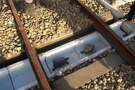 Nhật Bản xây dựng đường đi riêng cho rùa bên dưới tuyến đường sắt.