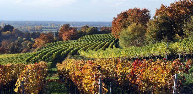 Die vierte Etappe auf dem Breisgauer Weinweg führt von Ettenheim nach Lahr.