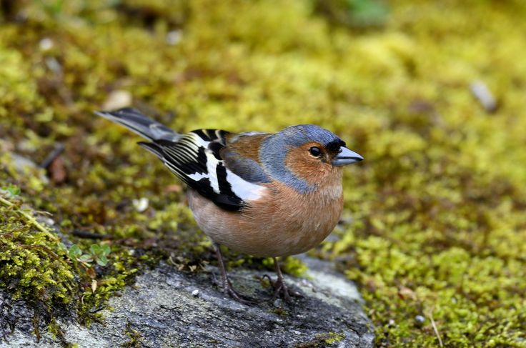 Listen to Chaffinch on british-birdsongs.uk, which is a comprehensive collection of English bird songs and bird calls.